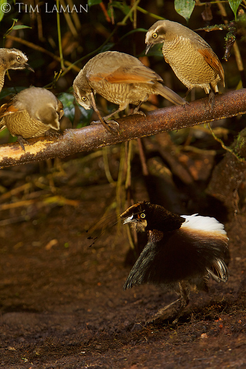 Male Carola's Parotia (mostly black bird) displaying to females plumage birds (mostly brown birds) at his display court, which is an area of ground cleared of leaves with a horizontal perch crossing above.