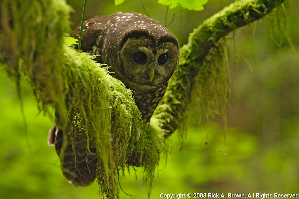 Oreogn, Coast Range, a Northern Spotted Owl (Strix occidentalis)