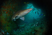 A grey nurse shark (Carcharias taurus) in a shallow cave entrance, photographed in Fish Rock Cave, South West Rocks, New South Wales, Australia, Pacific Ocean.