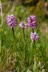 Aapjesorchis, Orchis simia