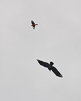 Baltimore Oriole chasing American Crow. Peace Valley Park. Bucks County, Pennsylvania. Image taken with a Nikon D3x camera and 70-300 mm VR lens.