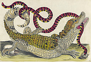Common caiman and South American false coral snake, from Metamorphosis insectorum Surinamensium (Surinam insects) a hand coloured 18th century Book by Maria Sibylla Merian published in Amsterdam in 1719