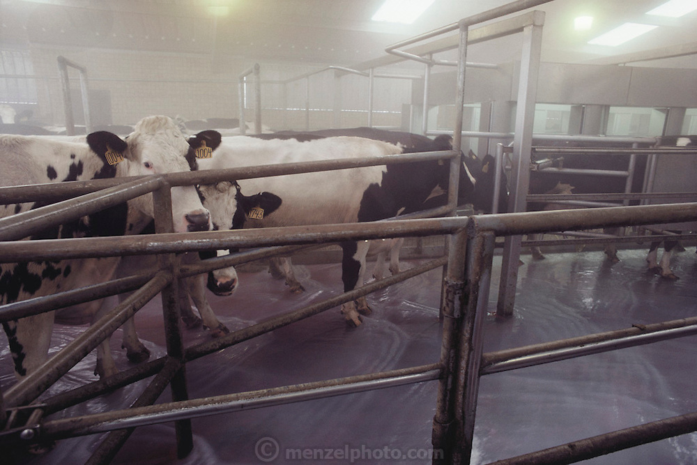 Maddox Dairy in Riverdale, California. The dairy floor is cleaned by flooding water as each new group of cows comes in to be milked.