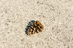 Grove den, Pinus sylvestris