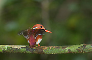 Madagascar Pygmy Kingfisher, Corythornis madagascariensis or Ispidina madagascariensis, perched, Nosy Mangabe National Park, Madagascar, IUCN Red Data List, Least Concern