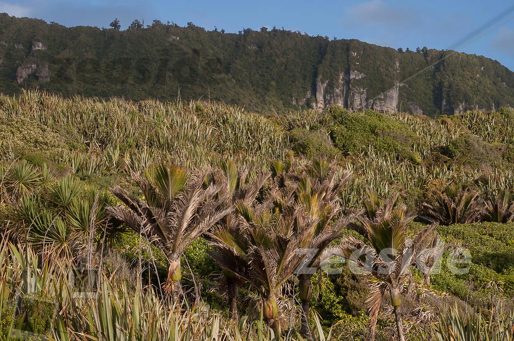 Coastal Nikau/Flax vegetation and limestone cliffs in the light of a sunset, reaching from the limestone cliffs of Paparoa National Park, right down to the sea shore.