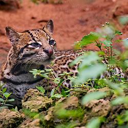 Jaguatirica (Leopardus pardalis) fotografado em Goiás - Centro-Oeste do Brasil. Bioma Cerrado. Registro feito em 2015.<br /> ⠀<br /> ⠀<br /> <br /> <br /> <br /> <br /> ENGLISH: Oncelot photographed in Goias - Midwest of Brazil. Cerrado Biome. Picture made in 2015.
