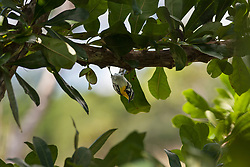 Blackburnian Warbler bird perching on tree branch, Cienfuegos, Cuba