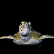 Green sea turtle (Chelonia mydas) in the late evening in The Bahamas.