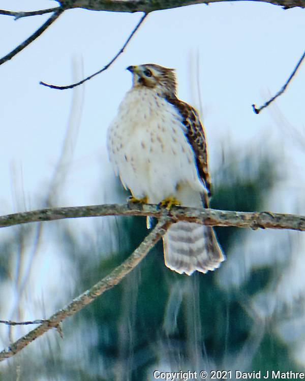 Cooper's Hawk (Accipiter cooperii). Image taken with a Fuji X-H1 camera and 100-400 mm OIS lens (ISO 250, 400 mm, f/5.6, 1/500 sec).