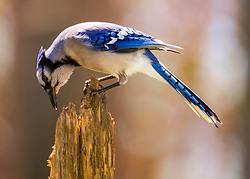A Curious Blue Jay Searches A Stump For A Meal