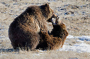 """BEAR PLAY 