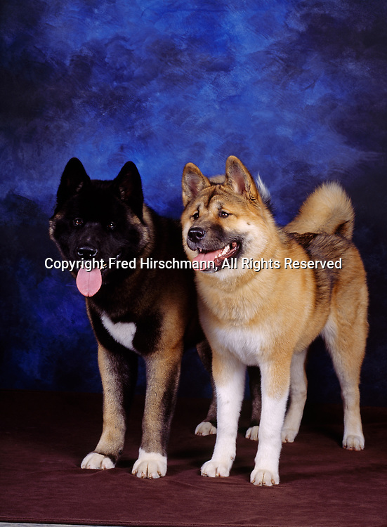 """Akitas, AKC, 8-month-old """"Thunder"""" and """"Skyler"""", photographed in Palmer and owned by Kathy Petrina of Wasilla, Alaska.  (AKC)"""