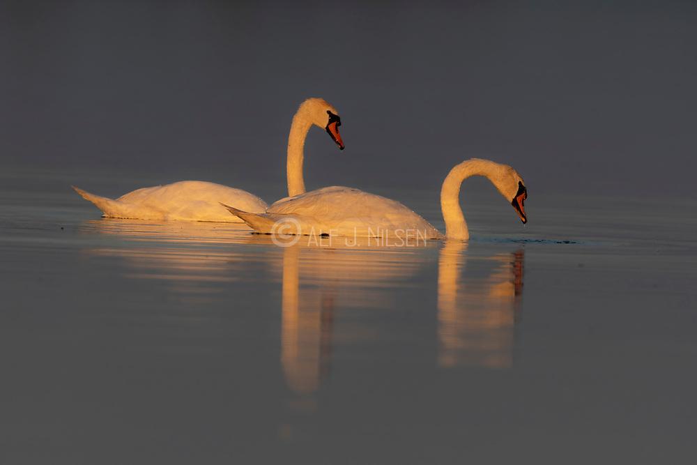 Pair of mute swans (Cygnus olor) from Vejlerne, northern Denmark.