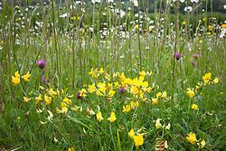 Bird's-foot Trefoil and Red Clover in field of ox eye daisies. Lotus corniculatus, Leucanthemum vulgare