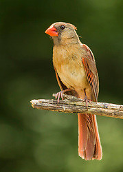 A Female Northern Cardinal On A Tree Perch. This friendly gal held her spot long enough for me to swap lenses and fire off a few shots. I swear she wanted to pose for me!