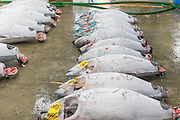 Large frozen tuna fish on floor of warehouse in the Tsukiji fish market, largest in the world, Tokyo, Japan