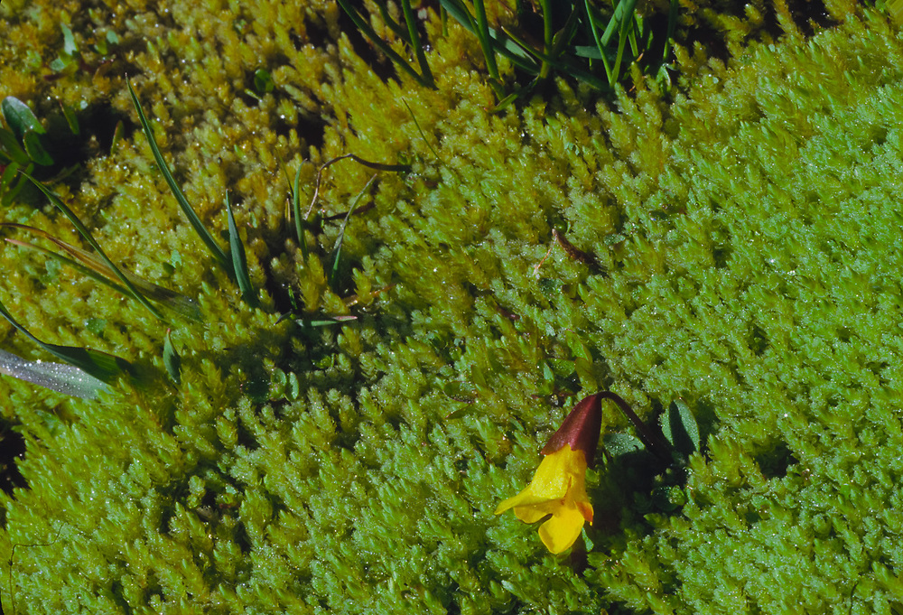 Yellow monkeyflower (Mimulus guttatus), Olympic National Park, Washington, USA