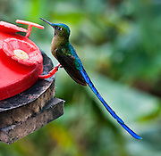 Tom Dempsey photographed this Violet-tailed Sylph (Aglaiocercus coelestis) hummingbird in Bellavista Cloud Forest Reserve, near Quito, Ecuador, South America. This species is found in Colombia and Ecuador. Males average around 7 inches (18 cm), while females average around 3.8 inches (9.7 cm). The Sylph lives in areas from 300-2100 meters in elevation, though typically above 900 meters.