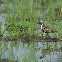 """The Pacific golden plover (Pluvialis fulva), or Pacific golden-plover is a medium-sized plover. The genus name is Latin and means relating to rain, from pluvia, """"rain"""". It was believed that golden plovers flocked when rain was imminent. The species name fulva is Latin and refers to a tawny colour."""