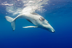 A Humpback Whale calf, Megaptera novaeangliae, frolics at the surface.  Moorea, French Polynesia, Pacific Ocean