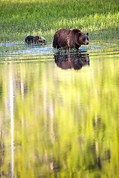 Aspen and grizzly bear reflection in Grand Teton National Park.  This is the famous Grizzly 399 and her 2016 cub Snow. Just before someone turned the lights out for the evening these bears I had been watching for about an hour finally moved to the pond I had been urging the toward :)<br /> <br /> Contact for custom print options or inquiries about stock usage  - dh@theholepicture.com
