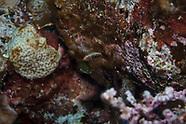 Scarus niger (Swarthy Parrotfish)