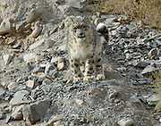 India - Friday, Dec 01 2006: Snow Leopard (Uncia uncia) in Hemis National Park, Ladakh. (Photo by Peter Horrell / http://www.peterhorrell.com)