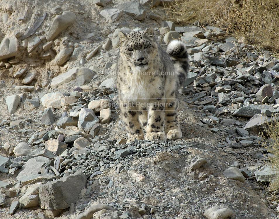 India - Friday, Dec 01 2006: Snow Leopard (Uncia uncia) in Hemis National Park, Ladakh. (Photo by Peter Horrell / http://www.peterhorrell.com)