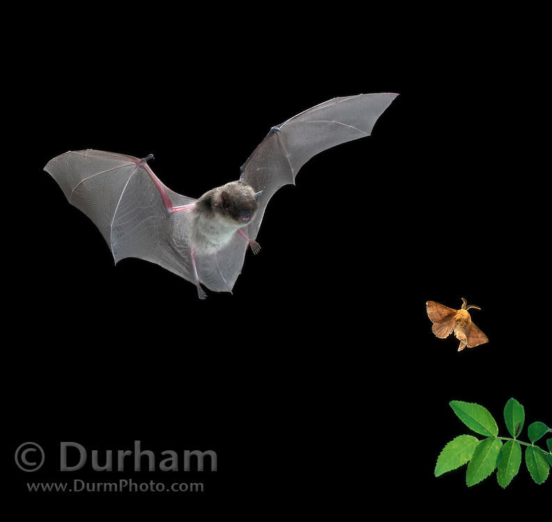 A male yuma myotis (Myotis yumanensis) bat zeroes in on a forest moth. This is a digital composite of two images.