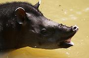 Brazilian Tapir, Tapirus terrestris, portrait, in river, rainforest, Manu, Peru, jungle, Amazonia, vunerable, excellent swimmers.