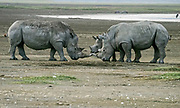 White rhino (Ceratotherium simum) mother and calf, Nakuru National Park, Kenya.