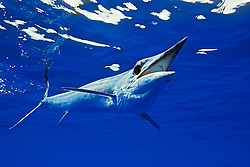 Short-billed Spearfish, Tetrapterus angustirostris, off Kona Coast, Big Island, Hawaii, Pacific Ocean