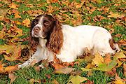 Quinn, the English Springer Spaniel