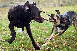 Using a stickas a toy a playful Black and Tan juvenile mongrel dog plays tug of war with a Chocolate Brown Labrador in a local Park