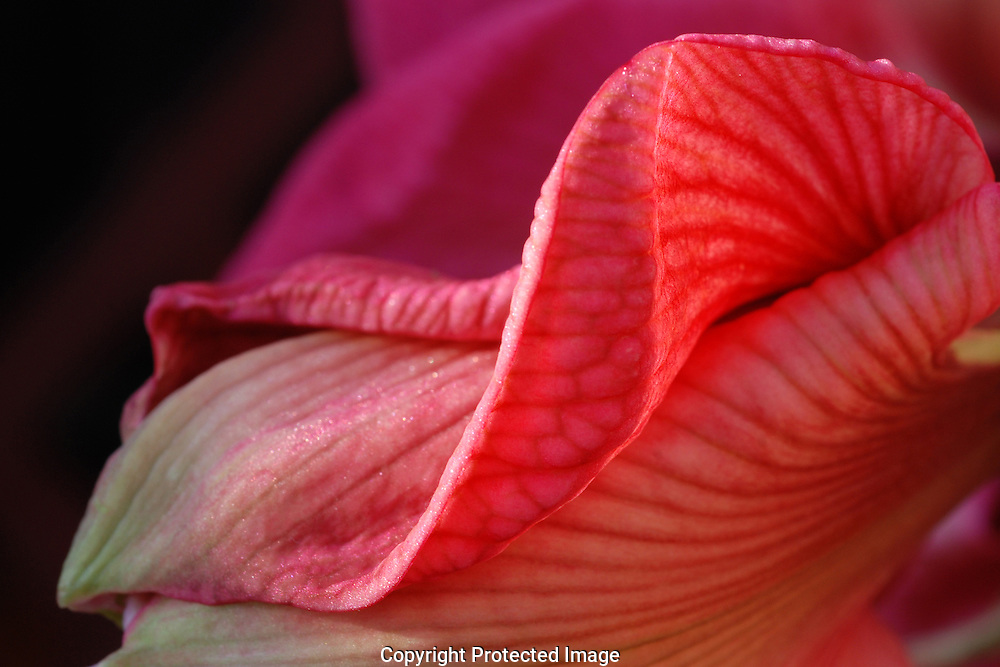 An pink Amaryllis blossom is unfolding in February. It is a welcome sight in a home during the winter months, shooting up nearly two feet from a bulb which goes dormant in the fall.