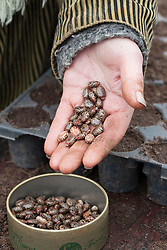 Handful of (poisonous) ricinus seeds ready to sow into module trays