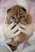 Iberian Lynx (Lynx pardinus) Cub, Felina. She is being hand raised as her mother was unable to take care of her. She will therefore also not be available for re-introduction. Seen here with Astrid Vargas head of the INSITU Life Lince Program.<br /> El Acebuche Breeding Center, Matalascañas, Doñana Natural Park. Huelva. SPAIN<br /> RANGE: Iberian Penninsula of Spain & Portugal.<br /> CITES 1, CRITICAL - DANGER OF EXTINCTION<br /> Fewer than 200 animals in the wild. There is a reduced genetic variability due to their small population. They have suffered due to hunting, habitat loss, road accidents, reduced food supply due to desease in rabbits (Myxomatosis & RHD) - their base food supply. Deseases such as feline leukaemia<br /> A medium sized cat weighing 12-15kgs, Body length 90cm, Shoulder height 45-50cm. They have a mottled fur pattern, (3 varieties of fur pattern found between the different populations and distinguishing them geographically)  short tail, ear tufts and are bearded. They are territorial cats although female cubs have been found to share their mother's territory. Mating occurs in Dec/Jan and cubs born around April. They live up to 13 years.<br /> <br /> Mission: Iberian Lynx, May 2009<br /> © Pete Oxford / Wild Wonders of Europe<br /> Zaldumbide #506 y Toledo<br /> La Floresta, Quito. ECUADOR<br /> South America<br /> Tel: 593-2-2226958<br /> e-mail: pete@peteoxford.com<br /> www.peteoxford.com