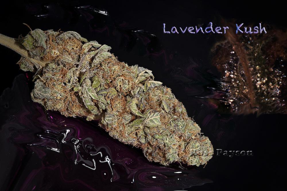 Lavender Kush nug, photographed in a professional studio