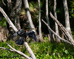 Anhinga sitting in a tree drying it's wings on the Silver River in Ocala Florida.
