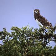 Black-chested Harrier, (Circaetus pectoralis) Perched on top of tree. Masai Mara Game Reserve. Kenya. Africa.