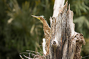 A baby Tiger Heron (Tigrisoma mexicanum) tries to blend into the dead tree that houses its nest on the Raspacullo river, Belize.
