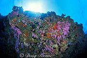 soft corals growing on underside of ledge, Fairy Thila, near Helengeli, Maldives ( Indian Ocean )