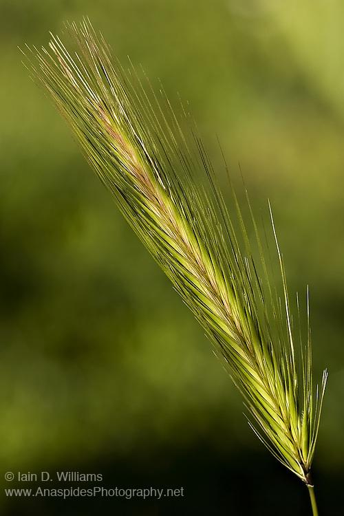 Grass Seeds, Tasmania