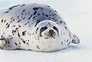 Adult harp seal on sea ice