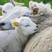 Nederland Barendrecht 5 april 2009 20090405 Foto: David Rozing ..Jonge lammetjes in de wei, lente, lenteweer.Little lambs in field in springtime..Foto: David Rozing