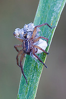 Nursery Web Spider with Babies and Egg Sac; Nursery Web  Spider, Egg Sac; Babies on Body; Crawling Baby Spiders; Spider