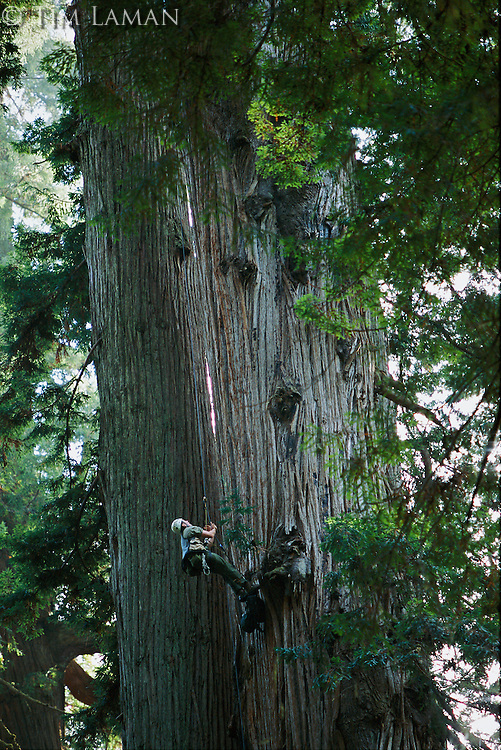 Botanist scales a giant redwood to check sensors at the tree's crown.
