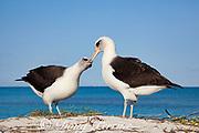 Laysan albatross, Phoebastria immutabilis, courtship dance, Sand Island, Midway Atoll, Midway National Wildlife Refuge, Papahanaumokuakea Marine National Monument, Northwest Hawaiian Islands, USA ( North Pacific Ocean )
