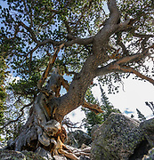 Gnarly pine tree at Lake Haiyaha. Hike a classic loop from Bear Lake Trailhead with spur trails to many beautiful lakes, waterfalls and peaks in Rocky Mountain National Park, Colorado, USA.Walk a scenic circuit of well-graded paths 6-13 miles with 1500-2600 feet gain. We enjoyed looping counterclockwise from Bear Lake Trailhead 13 miles via Bear Lake, Nymph Lake, Dream Lake, Emerald Lake, Lake Haiyaha, The Loch, Timberline Falls, Lake of Glass, Sky Pond, Alberta Falls then back. Arrive early for parking or take the shuttle. This image was stitched from multiple overlapping photos.